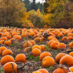 Picture of a Pumpkin Patch
